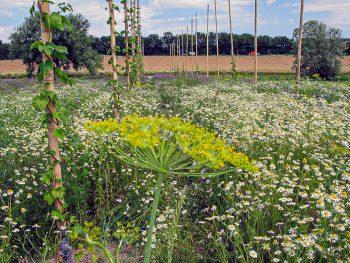 Wildblumenwiese im Hopfenschaugarten